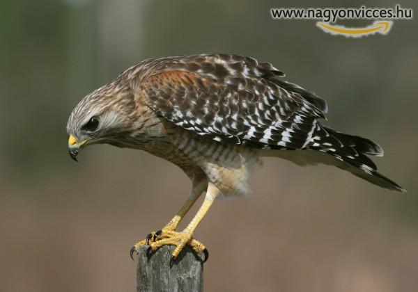 Savanyú madár