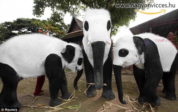Elefántok pandának vélik magukat