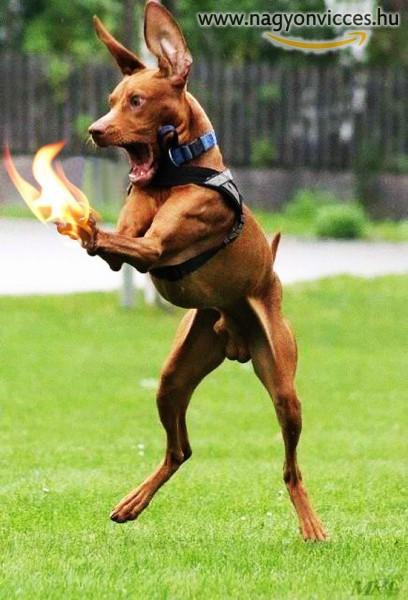 Tüzes kutya