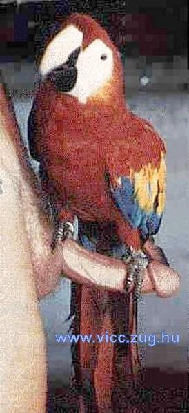 Papagáj a péniszen