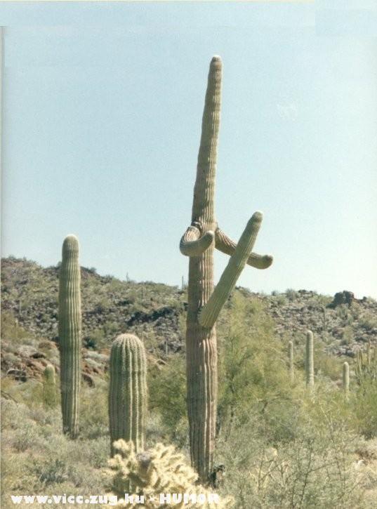 Felizgult kaktusz
