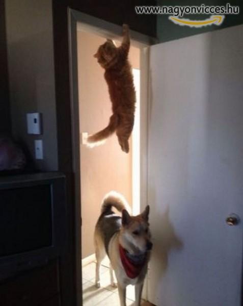 Akrobata macska