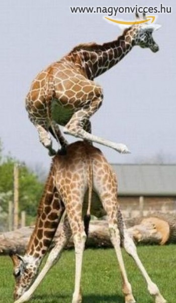 Akrobata zsiráfok