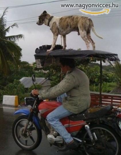 Kutyaszállítás motorral