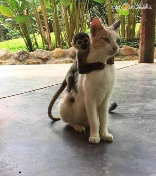 Cicagol a majom