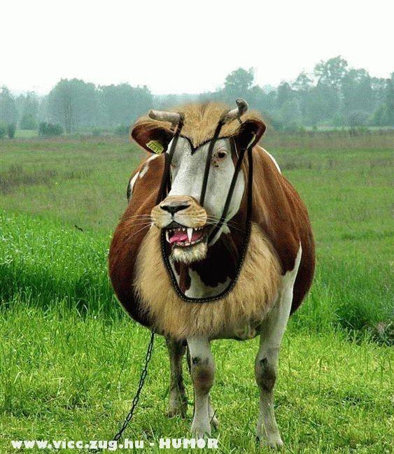 Támadó tehén