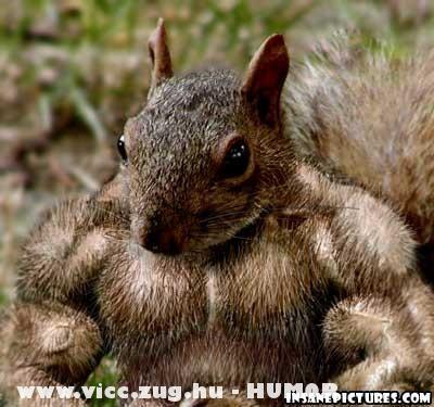 Kigyúrt mókus