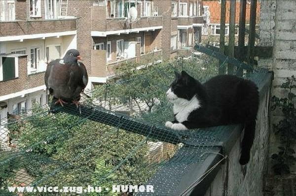 Macska és galamb szemeznek