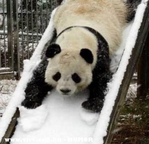 Panda a havas lejtõn