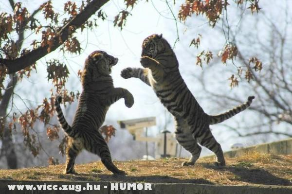 Játékos tigrisek
