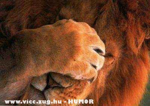 Fejfájós oroszlán