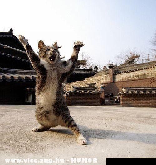 Az igazi harci macska