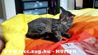 A jógázó cica