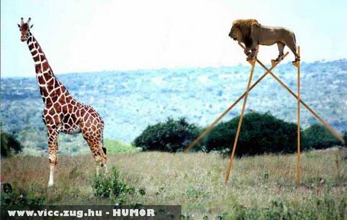 Okos oroszlán