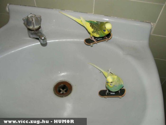 Deszkás papagájok
