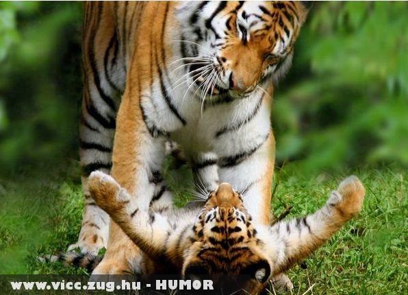 Játszó cicák