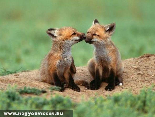 Kis rókák