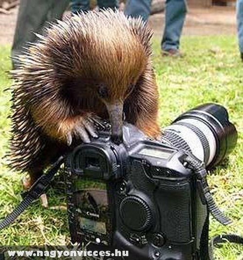 Kíváncsiskodó sün