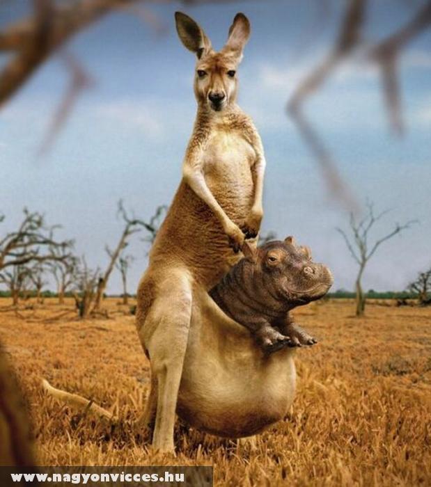 Vizilóbébi a kengurúnak