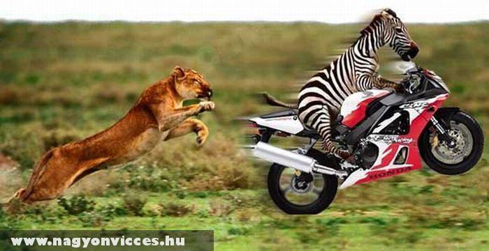 Esélyt a zebrának