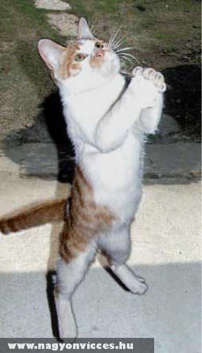 Imádkozó macska