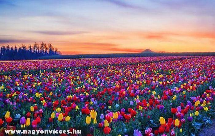 Tulipán föld