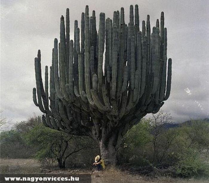 Óriás kaktusz