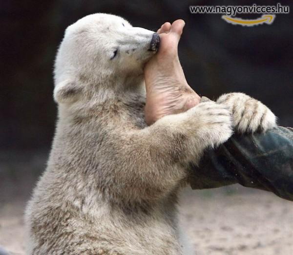 Szelíd-talpnyaló jegesmedve