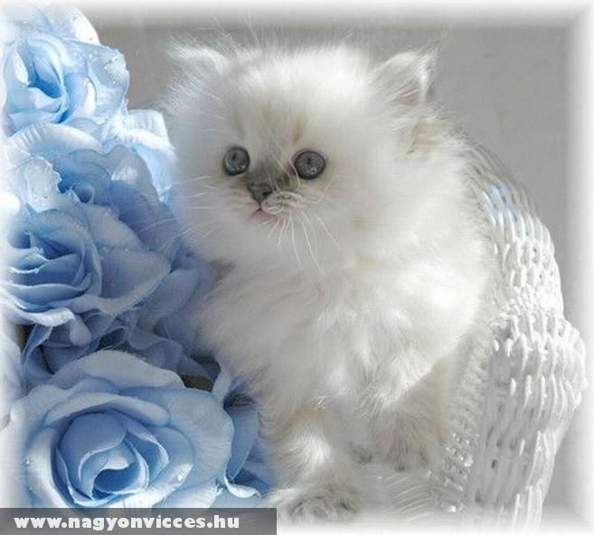 Szép cica