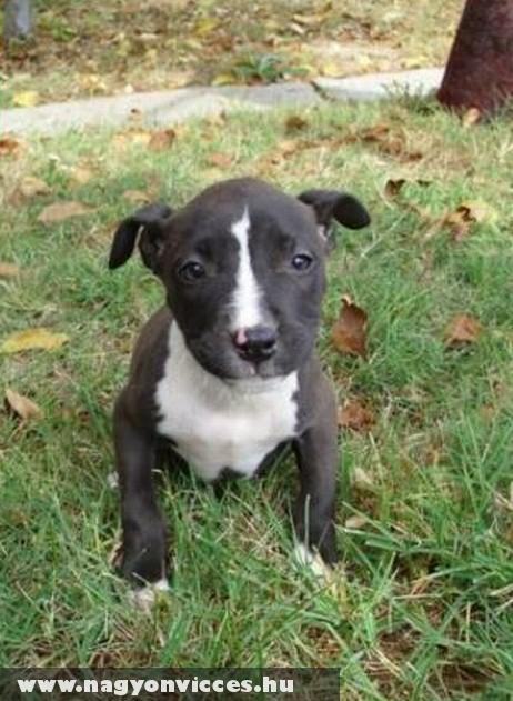 Steffordshire terrier