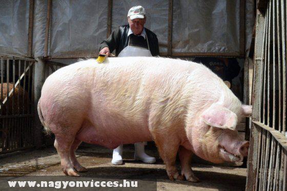 Õ Béla - 560 kg!