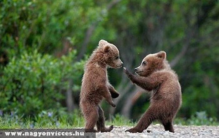 Verekedõ medvebocsok