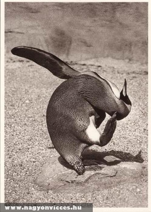Pingvin vakarózás