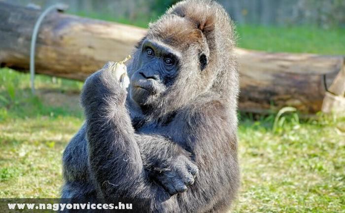 Amikor a majom bemutat