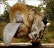 Zsiráf puszi