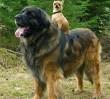 Kutya kutyagol