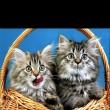 Egy kosár cica