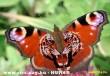 Tigrisszem pillangó