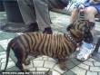 Tigris tacsi