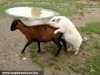 Ha más nincs ,akkor jó a kecske is