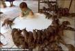 Patkányok vacsorája