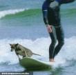 Szörfözõ kutya