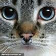 Piercinges macska