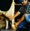 Sört adó tehén