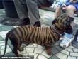 Tigris csíkos