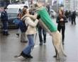Így ugrik az öledbe az ír farkas :D