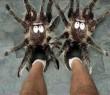Pók pacsker
