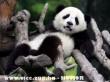 Panda maci kmandóom