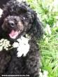 Puli , a kutyák gyöngye