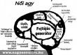 A nõi agy mûködése